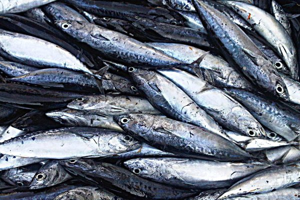 jenis ikan tongkol segar