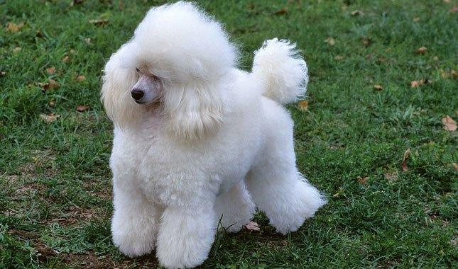 karakteristik anjing pudel