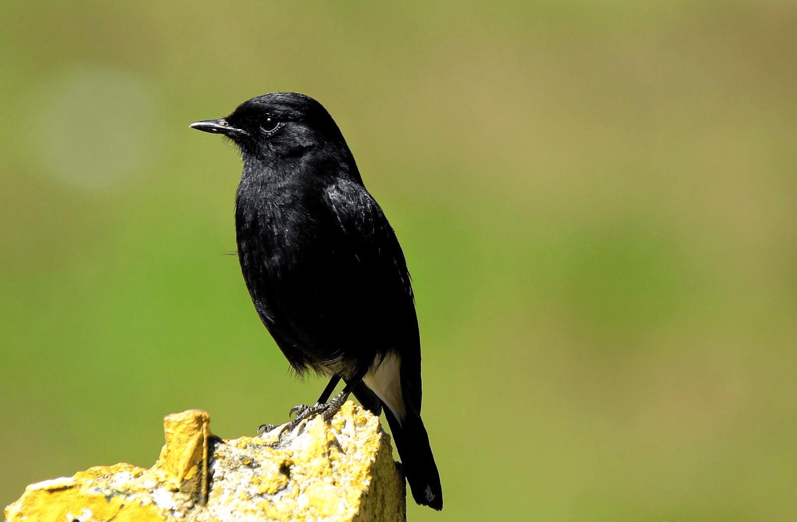 karakteristik burung decu