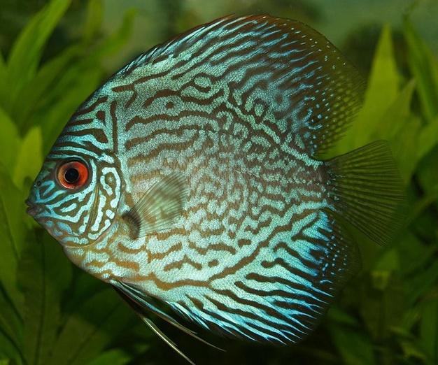 karakteristik ikan discus