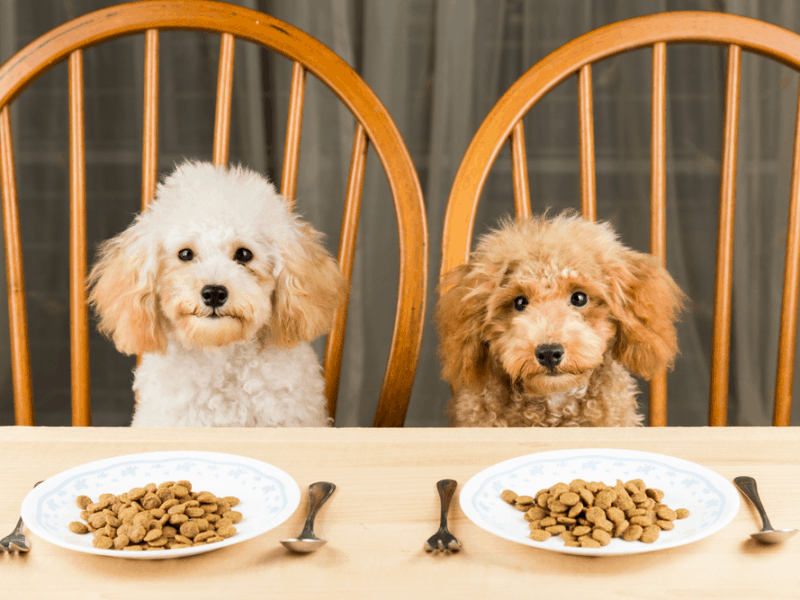 kasih makan anjing pudel