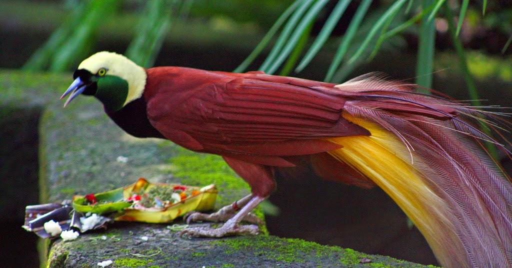 makanan burung cenderawasih