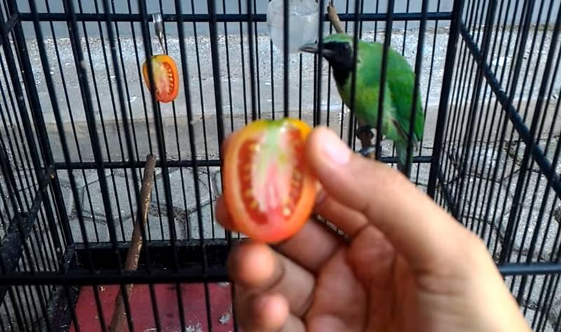 makanan burung cucak ijo buah