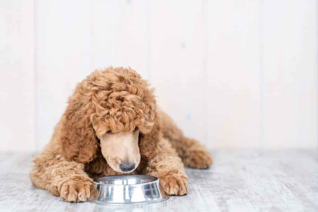 makanan untuk anjing pudel