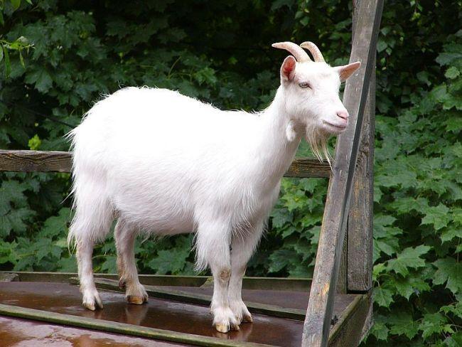manfaat kambing etawa