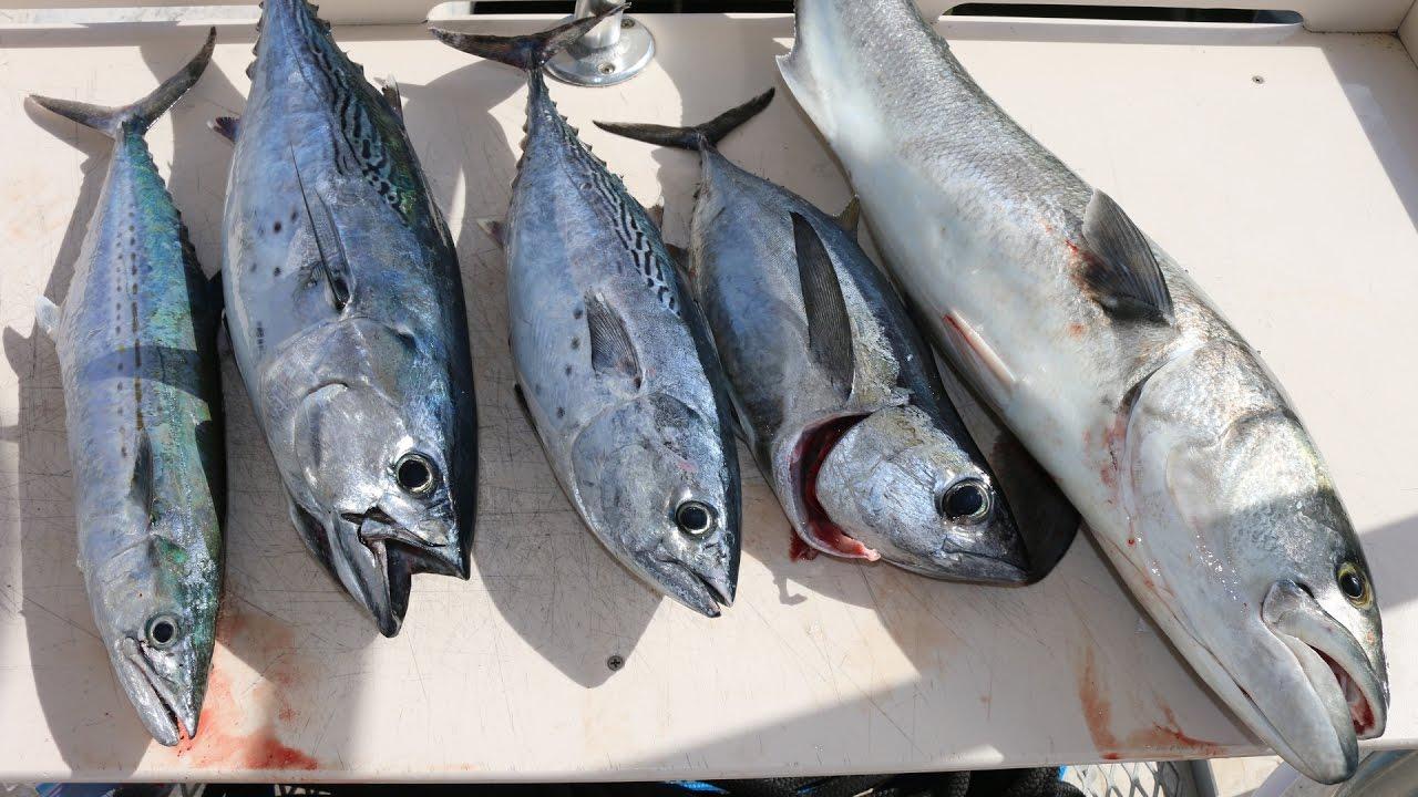 manfaat konsumsi ikan tongkol