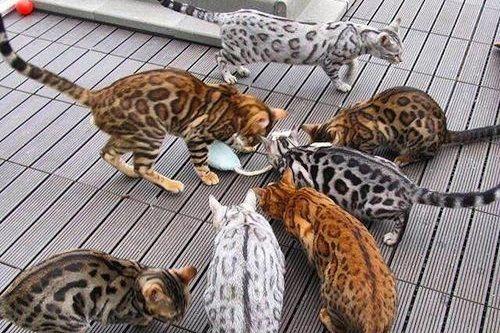 memberi mainan kucing bengal