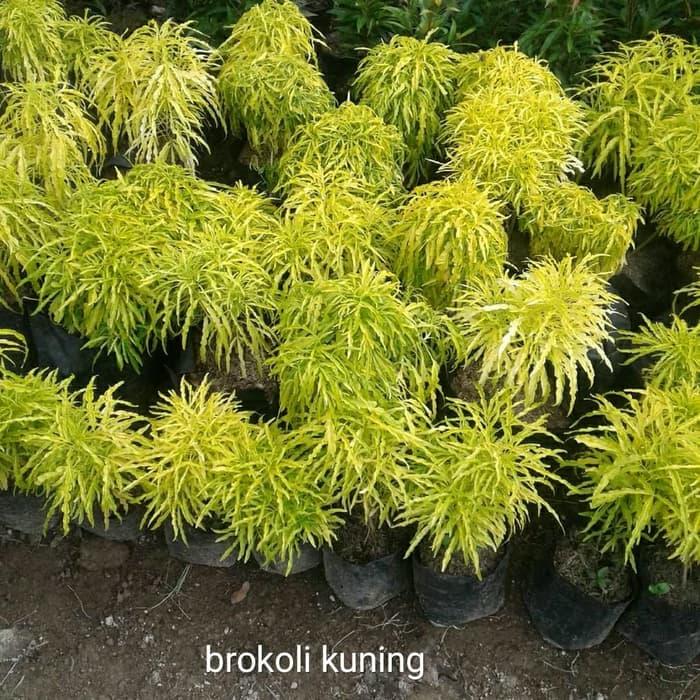 pakan burung pipit bunga brokoli