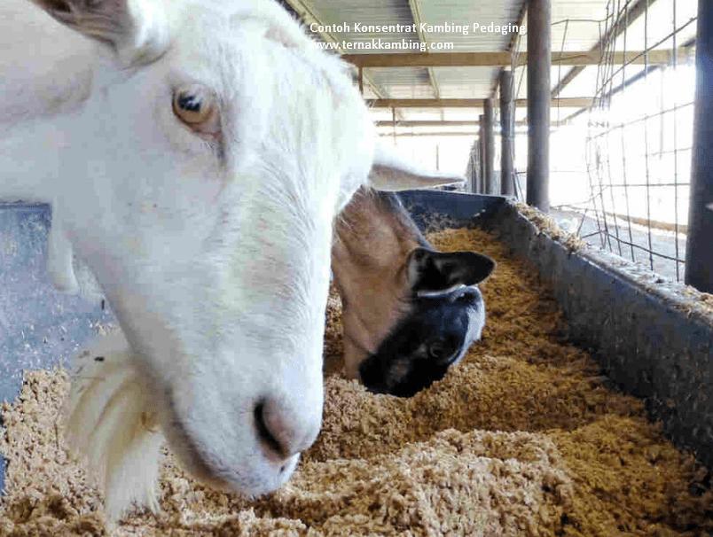pakan konsentrat kambing etawa