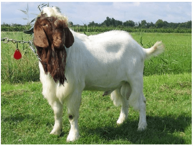 pakan tanaman hijau kambing etawa