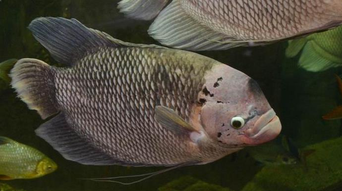 proses budidaya ikan gurame