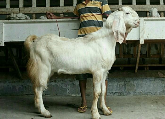 sejarah kambing etawa