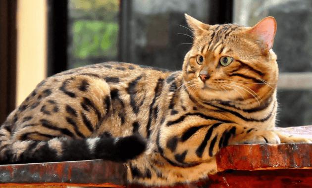 sejarah kucing bengal