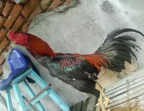 umbaran ayam birma