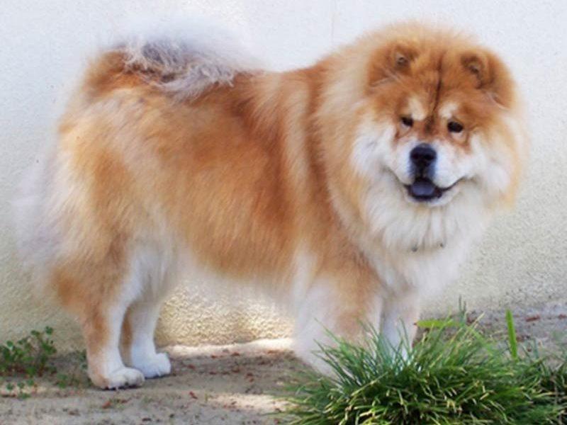 umur panjang anjing chow chow