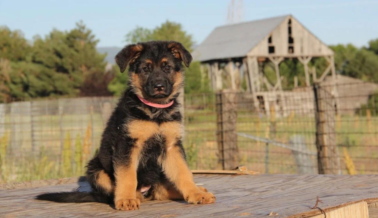 ciri karakteristik anjing gembala jerman