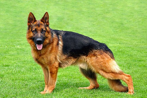 foto anjing gembala jerman