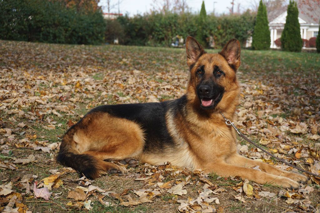 gambar anjing gembala jerman