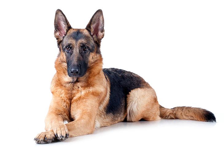 info anjing gembala jerman