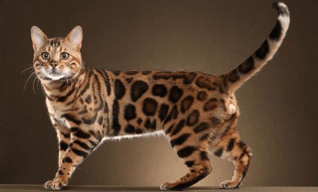 info kucing hutan