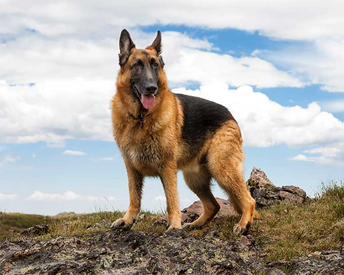 jangan sering mandikan anjing gembala jerman
