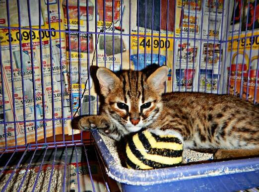 kandang kucing hutan