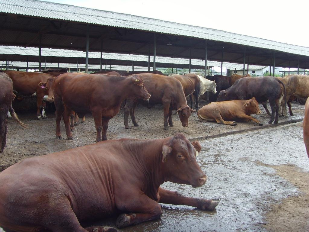 kandang sapi limosin