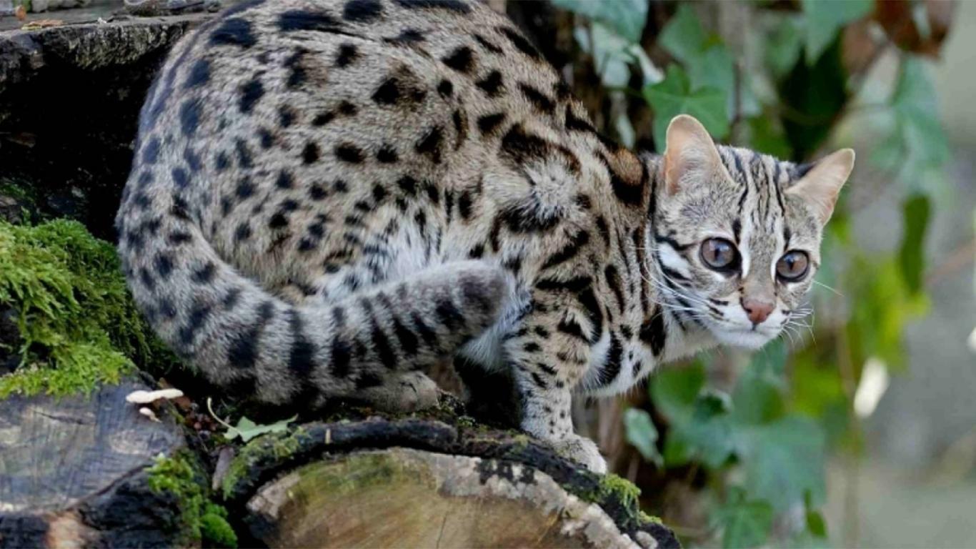 karakteristik kucing hutan