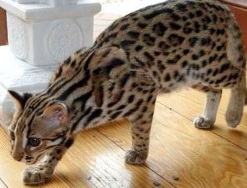 mandikan kucing hutan