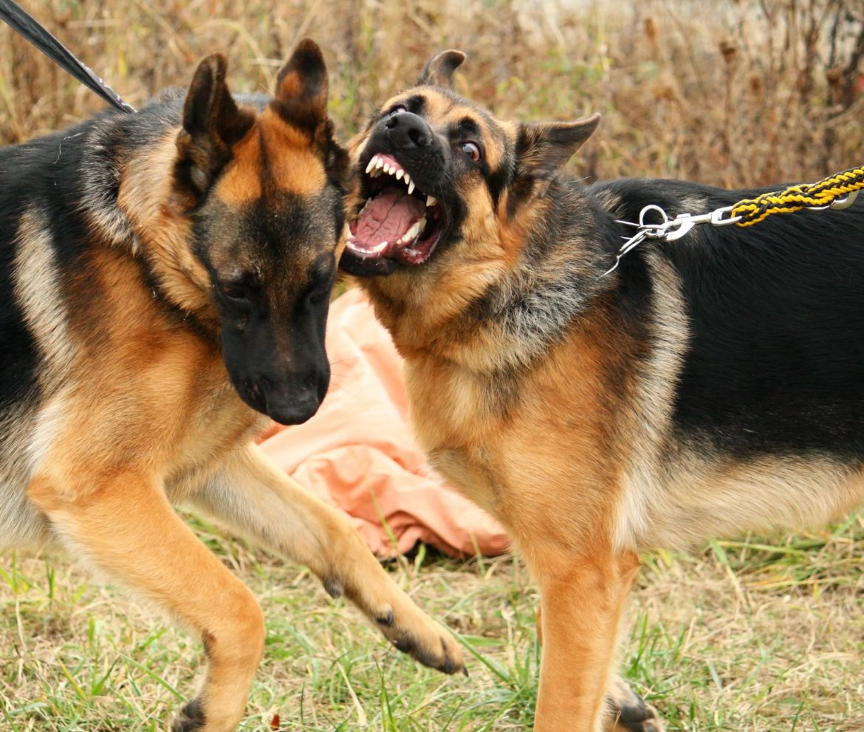 rajin menyikat gigi anjing gembala jerman