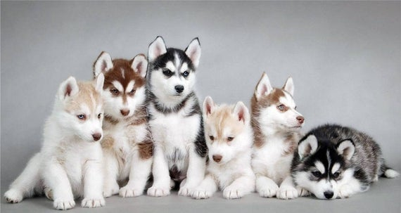 anak anjing siberia husky