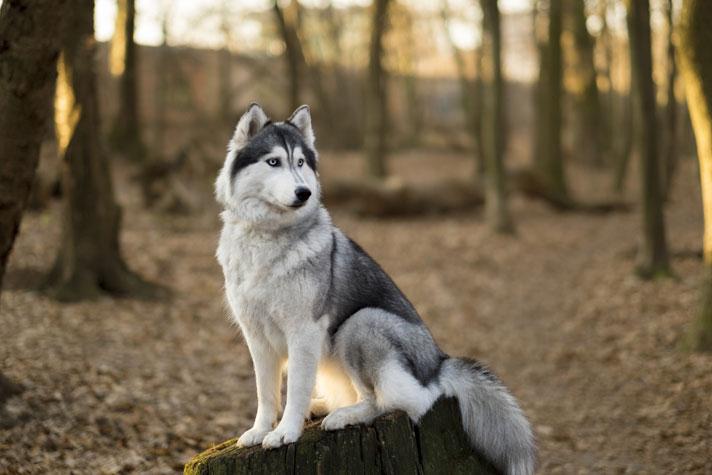 ciri karakteristik anjing siberia husky