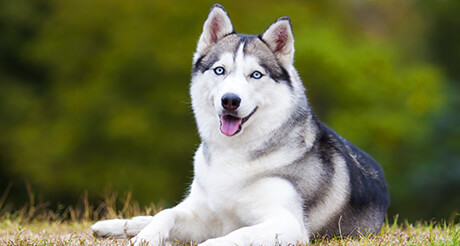 foto anjing siberia husky senyum