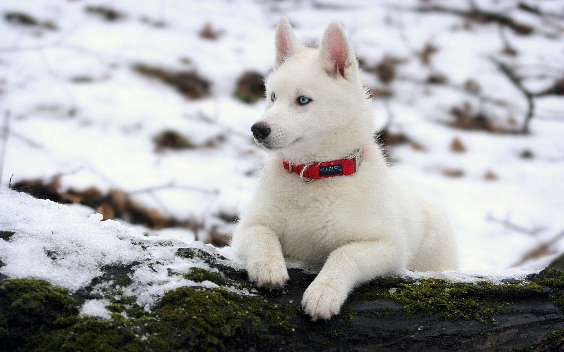 gambar anjing siberia husky cantik