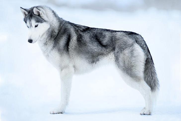 info anjing siberia husky