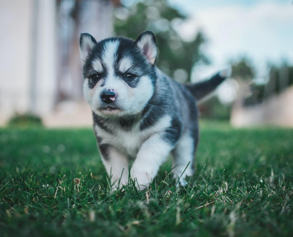mandikan rutin anjing siberia husky