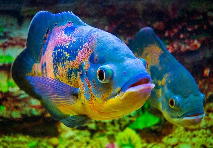 cara ternak ikan oscar masuk aquarium besar