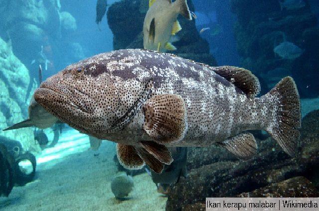 gambar ikan kerapu malabar