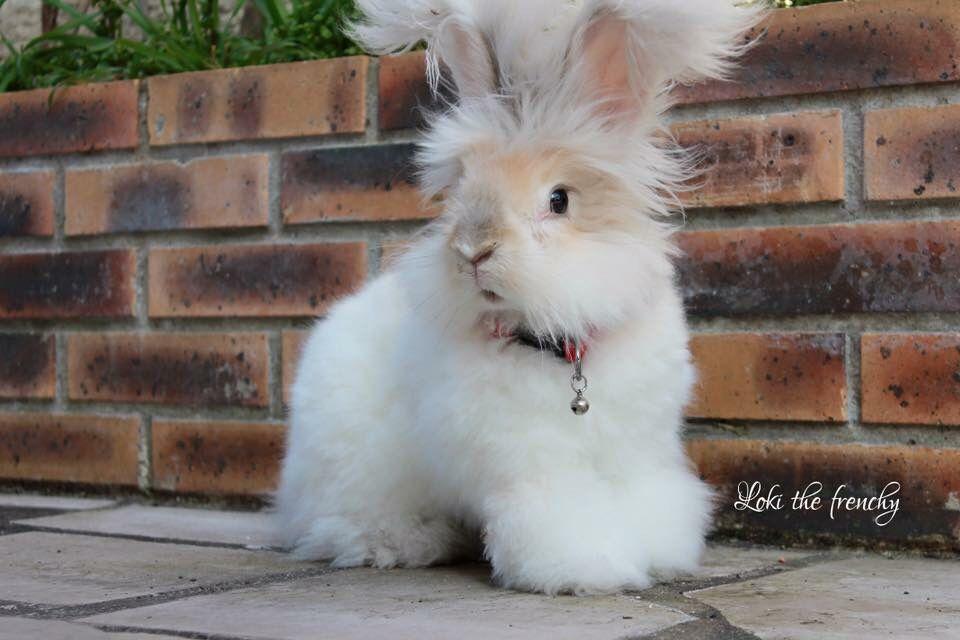 gambar kelinci anggora inggris