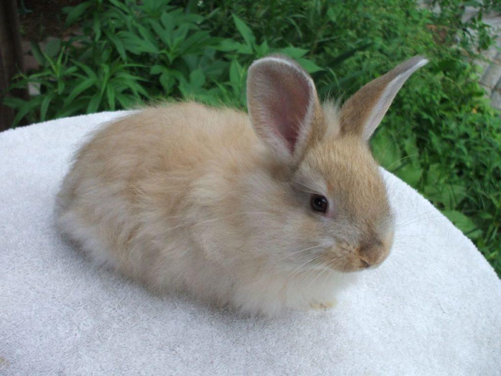 gambar kelinci anggora perancis