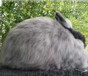 gambar kelinci anggora satin