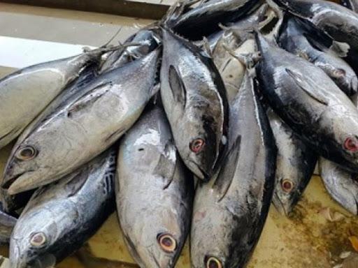 harga ikan cakalang
