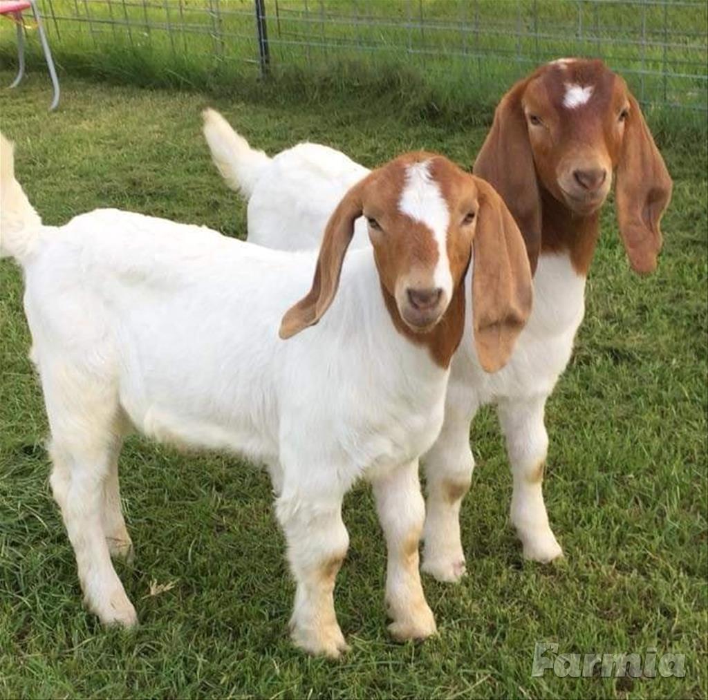 makanan kambing boer