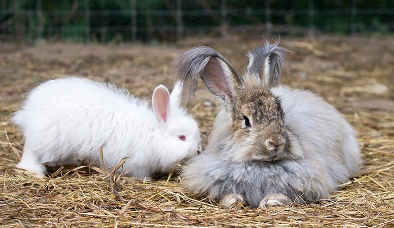 makanan kelinci anggora