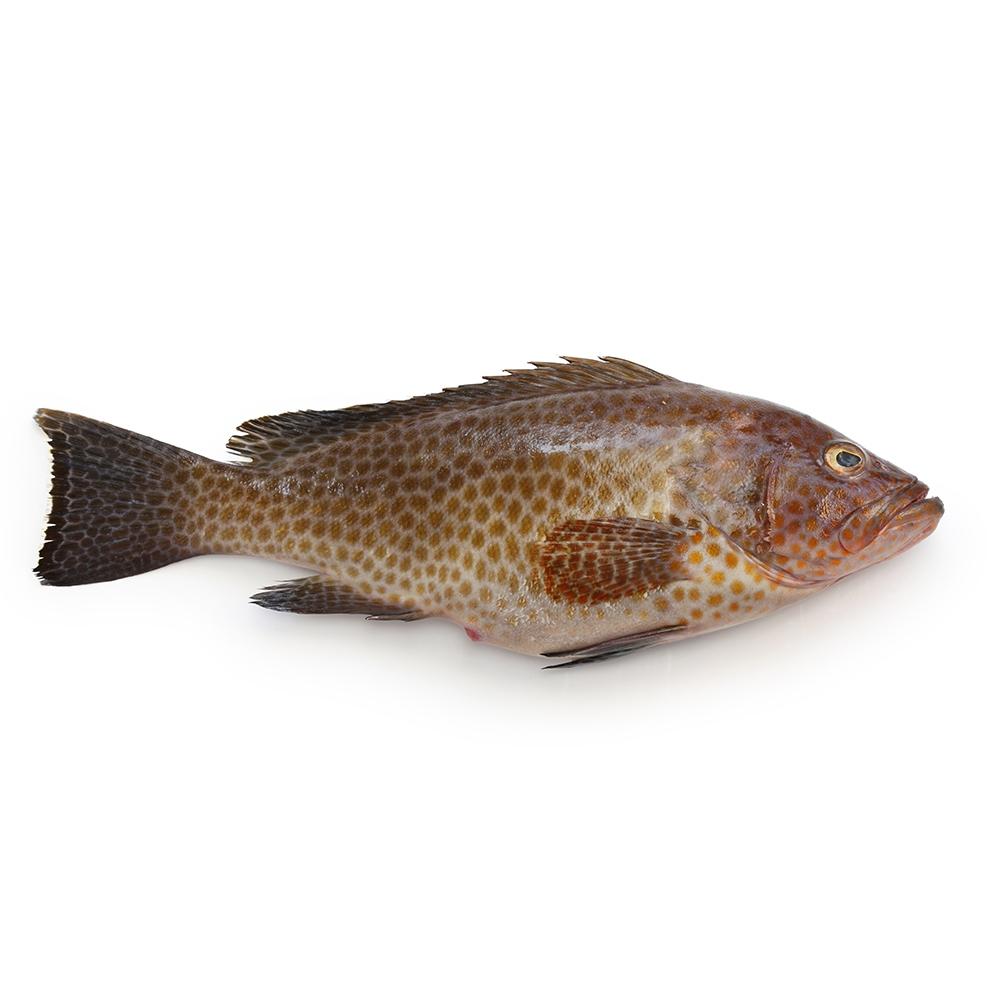 manfaat konsumsi ikan kerapu