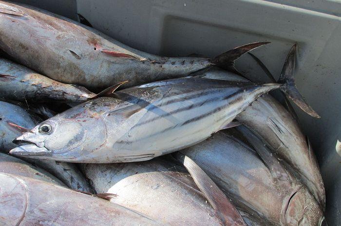 manfaat makan ikan cakalang