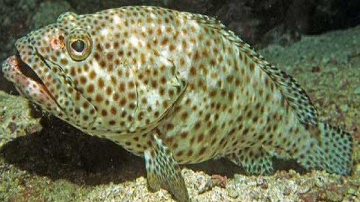 profil ikan kerapu