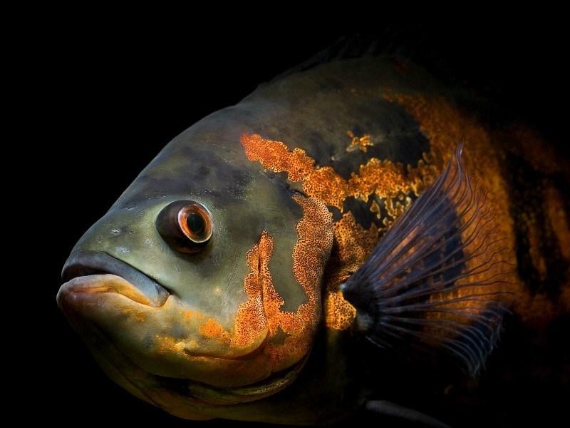 profil ikan oscar