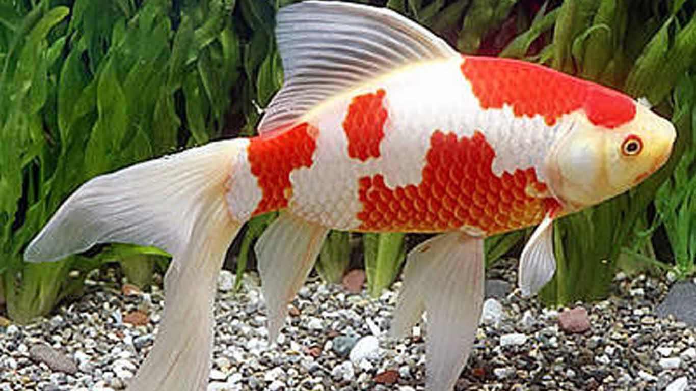 profil lengkap Ikan Komet