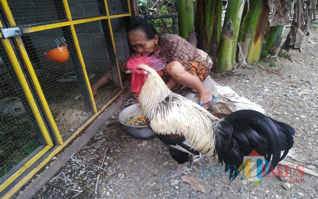 ciri bulu ayam pelung